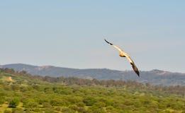 Ο αιγυπτιακός γύπας με τα φτερά Στοκ φωτογραφία με δικαίωμα ελεύθερης χρήσης