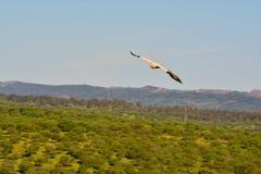 Ο αιγυπτιακός γύπας με τα φτερά Στοκ φωτογραφίες με δικαίωμα ελεύθερης χρήσης