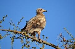 Ο αιγυπτιακός γύπας (Neophron Percnopterus) κάθεται στον κλάδο του δέντρου, Socotra, Υεμένη Στοκ φωτογραφίες με δικαίωμα ελεύθερης χρήσης