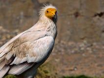 Ο αιγυπτιακός γύπας, percnopterus Neophron, είναι ένα μικρότερο πουλί αστακών Στοκ φωτογραφίες με δικαίωμα ελεύθερης χρήσης