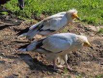 Ο αιγυπτιακός γύπας, percnopterus Neophron, είναι ένα μικρότερο πουλί αστακών Στοκ φωτογραφία με δικαίωμα ελεύθερης χρήσης