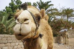 Ο Αιγύπτιος dromedary Στοκ φωτογραφία με δικαίωμα ελεύθερης χρήσης