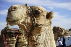 Ο Αιγύπτιος dromedary Στοκ Φωτογραφίες