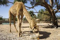 Ο Αιγύπτιος dromedary Στοκ Εικόνα