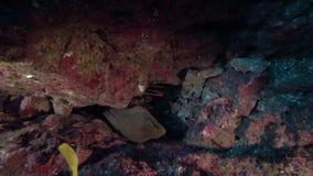 Ο ακανθωτός αστακός Socorro, το πράσινο moray Gymnothorax castaneus Panamic και η Longnose πεταλούδα αλιεύουν το flavissimus Forc απόθεμα βίντεο