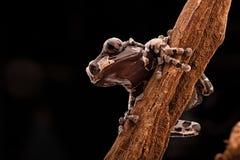Ο ακανθωτός διευθυνμένος βάτραχος δέντρων στοκ εικόνα με δικαίωμα ελεύθερης χρήσης
