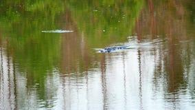 Ο αλλιγάτορας κολυμπά απόθεμα βίντεο