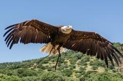 Ο αμερικανικός αετός που πετά τα πουλιά παρουσιάζει Στοκ εικόνα με δικαίωμα ελεύθερης χρήσης