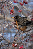 Robin στο παγωμένο δέντρο με τα μούρα Στοκ Φωτογραφίες