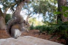 Ο ανατολικός γκρίζος σκίουρος έχει ένα πρόχειρο φαγητό Στοκ Φωτογραφίες