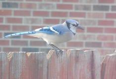 Ο ανατολικός μπλε Jay στο φράκτη στοκ εικόνα