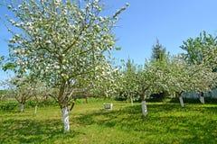 Ο ανθίζοντας οπωρώνας μήλων στην ηλιόλουστη ημέρα άνοιξη Στοκ φωτογραφίες με δικαίωμα ελεύθερης χρήσης