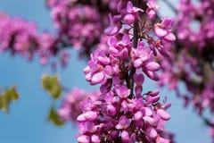 Ο ανθίζοντας ρόδινος κλάδος ακακιών των όμορφων λουλουδιών και άλλων κλάδων και μπλε ουρανού θόλωσε στο υπόβαθρο στοκ εικόνα με δικαίωμα ελεύθερης χρήσης