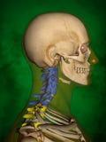 Ο ανθρώπινος σκελετός μ-SK-ΘΕΤΕΙ BB-56-3, σπονδυλική στήλη, τρισδιάστατο πρότυπο Στοκ εικόνες με δικαίωμα ελεύθερης χρήσης