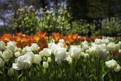 Ολλανδικά άσπρα λουλούδια Στοκ εικόνες με δικαίωμα ελεύθερης χρήσης