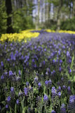 Ολλανδικά πορφυρά και κίτρινα δασικά λουλούδια Στοκ Φωτογραφίες