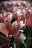 Ολλανδικά ρόδινα και άσπρα λουλούδια στοκ φωτογραφία με δικαίωμα ελεύθερης χρήσης