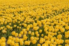 Ολλανδικές τουλίπες στοκ εικόνα