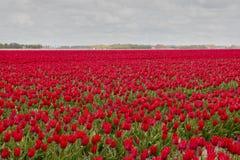 Ολλανδικές τουλίπες στοκ εικόνα με δικαίωμα ελεύθερης χρήσης
