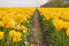 Ολλανδικές τουλίπες στοκ εικόνες με δικαίωμα ελεύθερης χρήσης