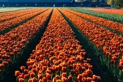 Ολλανδικές τουλίπες Στοκ Φωτογραφίες