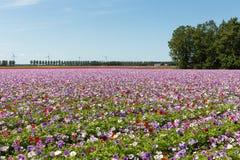 Ολλανδικός τομέας με την πορφύρα που ανθίζει anemones Στοκ φωτογραφίες με δικαίωμα ελεύθερης χρήσης