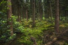 Ολλανδικό δάσος κομψός-έλατου στο λυκόφως Στοκ Φωτογραφίες