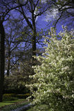 Ολλανδικό δέντρο 3 ανθών Στοκ Εικόνες