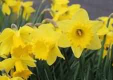 Ολλανδικό κύριο Daffodil Στοκ Φωτογραφίες