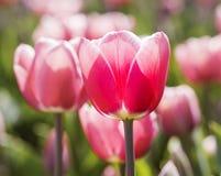 Ολλανδικό λουλούδι Στοκ φωτογραφίες με δικαίωμα ελεύθερης χρήσης