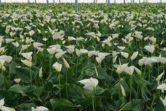 Ολλανδικό σύνολο θερμοκηπίων των άσπρων anthurium λουλουδιών Στοκ Φωτογραφία