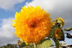 Ο αποκαλούμενος ` κήπος ήλιος λουλουδιών αντέχει ` Στοκ Εικόνα