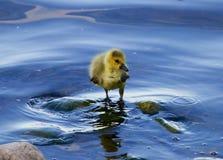 Ο απλώς νεοσσός της χήνας στο νερό Στοκ Φωτογραφία