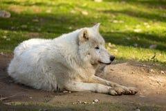Ο αρκτικός λύκος, arctos Λύκου Canis, είναι άσπρος στο χρώμα Στοκ εικόνες με δικαίωμα ελεύθερης χρήσης