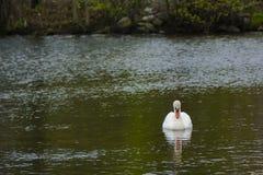Ο αρσενικός βουβός Κύκνος που εξετάζει την αντανάκλαση στη λίμνη Στοκ Εικόνες