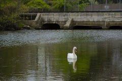 Ο αρσενικός βουβός Κύκνος που εξετάζει τη λίμνη κοντά στη γέφυρα Στοκ εικόνες με δικαίωμα ελεύθερης χρήσης