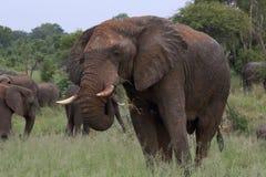 Ο αρσενικός ελέφαντας του Bull με το λοσιόν ήλιων λάσπης στο εθνικό πάρκο Hwage, Ζιμπάμπουε, ελέφαντας, χαυλιόδοντες, μάτι ελεφάν Στοκ εικόνα με δικαίωμα ελεύθερης χρήσης