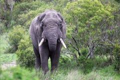 Ο αρσενικός ελέφαντας είναι στη κάμερα Στοκ εικόνα με δικαίωμα ελεύθερης χρήσης