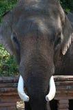 Ο αρσενικός ελέφαντας Στοκ εικόνες με δικαίωμα ελεύθερης χρήσης