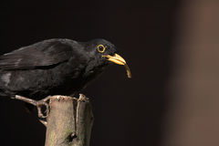 Ο αρσενικός κοινός κότσυφας στο βρετανικό κήπο που ταΐζει την εργασία σίτισης άγριας φύσης ζωής βρετανικών πουλιών rspb εσκαρφάλω Στοκ Φωτογραφία