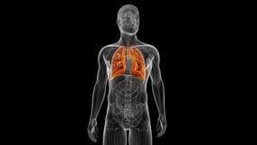 Ο αρσενικός πνεύμονας απεικόνιση αποθεμάτων