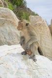 Ο αρσενικός macaque Στοκ εικόνες με δικαίωμα ελεύθερης χρήσης