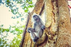 Ο ασημωμένος πίθηκος φύλλων κάθεται στο δέντρο Μαλαισία Στοκ εικόνες με δικαίωμα ελεύθερης χρήσης