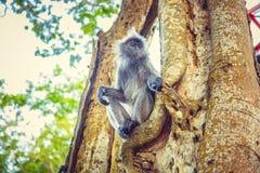 Ο ασημωμένος πίθηκος φύλλων κάθεται στο δέντρο Στοκ εικόνα με δικαίωμα ελεύθερης χρήσης