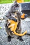 Ο ασημωμένος πίθηκος φύλλων κρατά το μικρό πίθηκο και τρώει τα φρούτα Στοκ Εικόνα