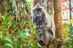 Ο ασημωμένος πίθηκος φύλλων τρώει τα φρούτα Στοκ Εικόνα