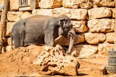 Ο ασιατικός ελέφαντας, βιβλικός ζωολογικός κήπος της Ιερουσαλήμ στο Ισραήλ Στοκ εικόνα με δικαίωμα ελεύθερης χρήσης