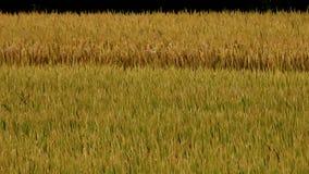 Ο ασιατικός χρυσός ορυζώνας ρυζιού στον αέρα, περιμένει τη συγκομιδή απόθεμα βίντεο