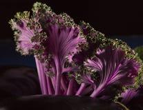 Ο ασιατικός Kale με το μαύρο υπόβαθρο στοκ φωτογραφία με δικαίωμα ελεύθερης χρήσης