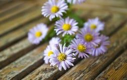 Ο αστέρας είναι εύθραυστα, μικροσκοπικά λουλούδια Στοκ Φωτογραφία